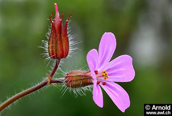 Geranium robertianum, stinkender Storchenschnabel, Ruprechtskraut