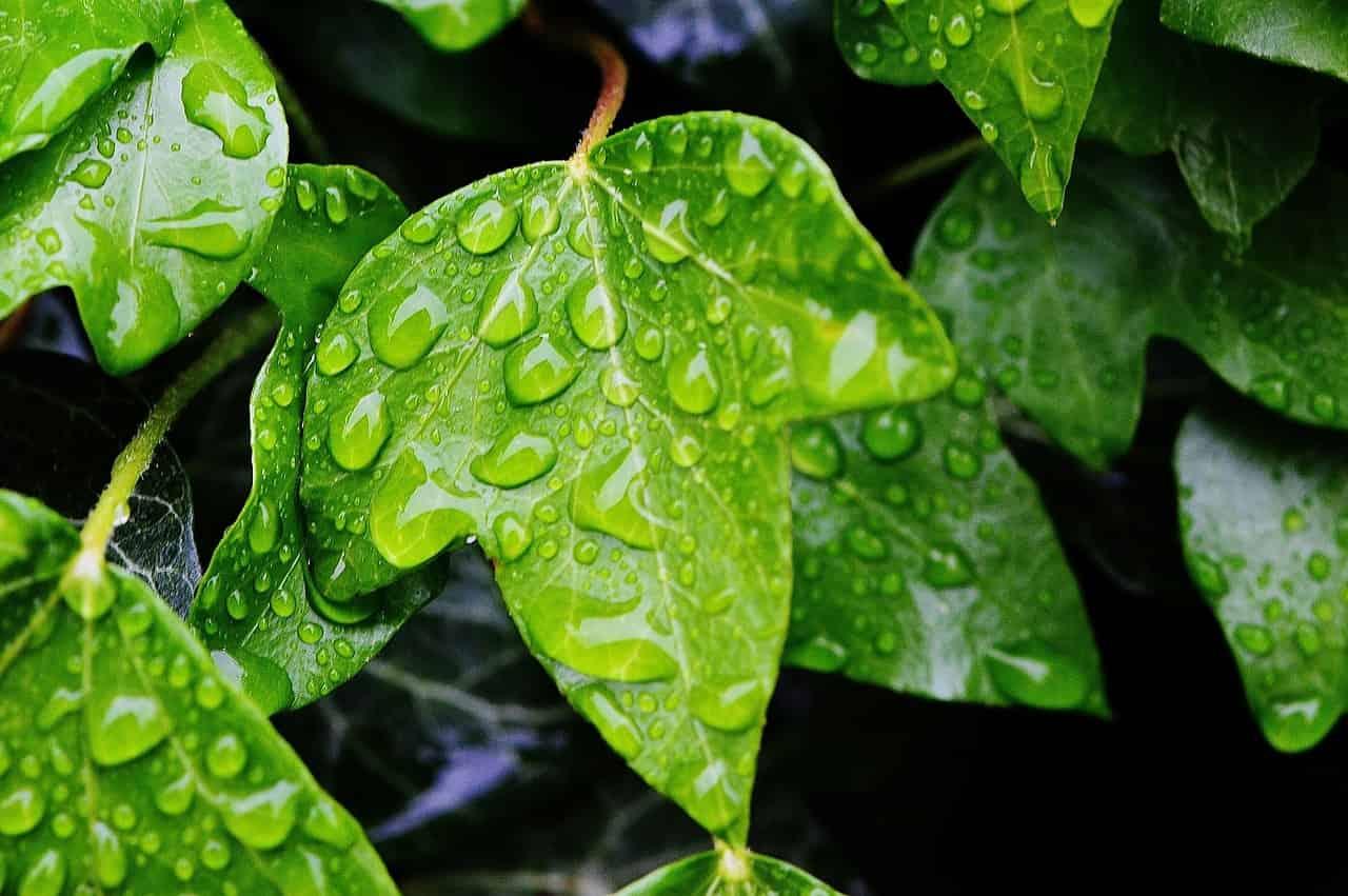 Efeu als Heilpflanze